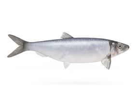 3D model Fish Herring