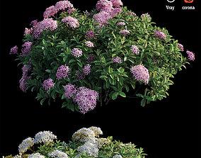 Ixora plant set 36 3D model