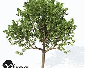 3D model XfrogPlants Downy Oak