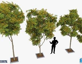 3D asset Prosopis Cineraria Trees Optimized