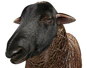 Black Sheep Rigged 3D asset