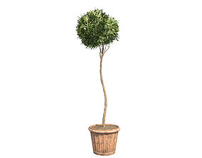 American Boxwood Topiary in Pot 3D asset