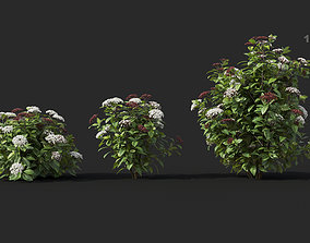 Viburnum tinus Laurustinus 01 Growfx and mesh 3D model