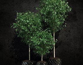 3D model Ficus benjamina