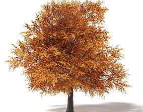 Common Oak 3D Model 6m foilage