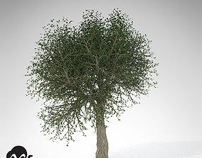 XfrogPlants Cork Oak 3D