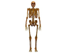 3D model Human Skeleton Scanned