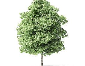 Red Alder Tree 3D Model 5m