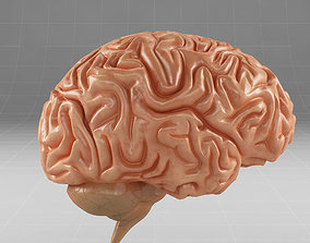 Anatomy brain cerebellum 3D model