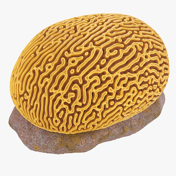 Brain Coral and Sea Rock