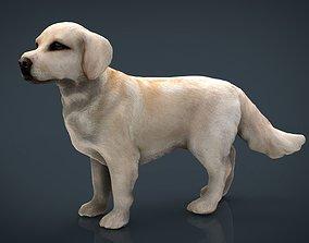 3D asset Labrador Retriever