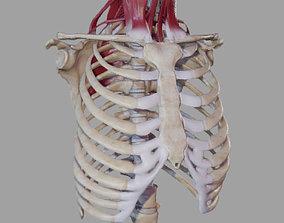 Deep Muscles of the Neck 3D asset