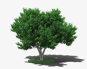 3D Fig Tree fruit