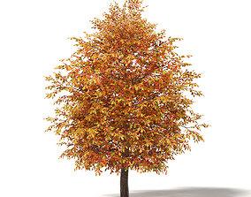 Common Oak 3D Model 5m