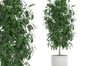 3D model Ficus benjamina trees in a flowerpot for 2