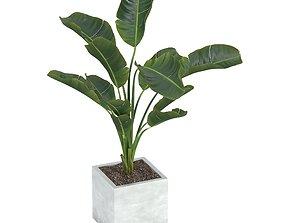 Strelitzia nicolai 3d model