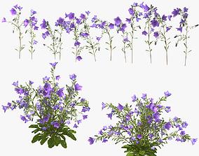 Flower Campanula persicifolia 3D model