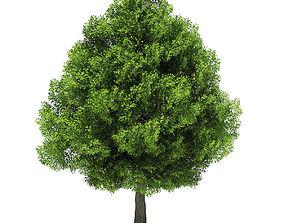 Pin Oak 3D Model 14m