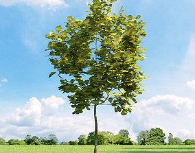 3D Quercus robur Concordia 033 v1 AM136