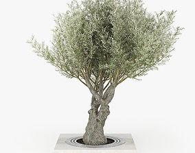 3D model Olea europaea 3 greenery