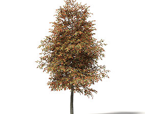 Mountain Ash 3D Model 5m autumn