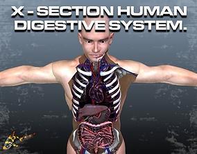 3D model Cross Section Human Digestive System