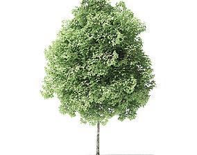 Red Alder Tree 3D Model 3m