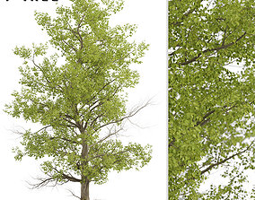 3D model American Sycamore or Platanus Occidentalis Tree 2