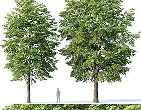 Tilia europaea Nr 4 H12-14m Two tree 3D model