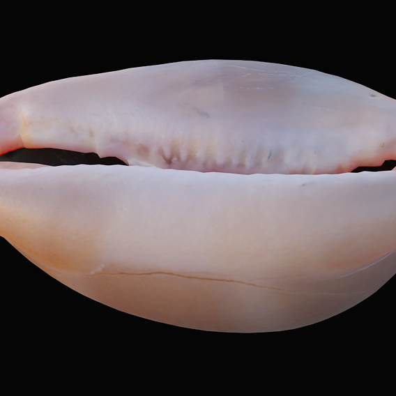 Measled Cowrie Sea Shell