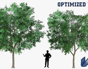 Prosopis Cineraria Tree Optimized 3D model