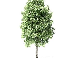 Red Alder Tree 3D Model 4m