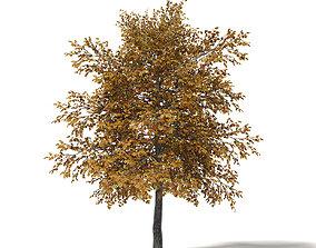 Field Maple 3D Model 5m