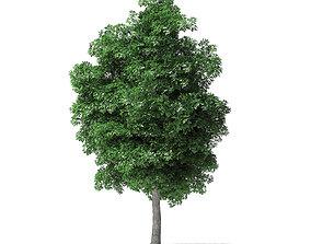 White Ash Tree 3D Model 9m