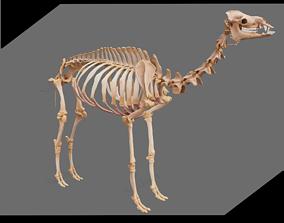 Dromedary Skeleton 3D model