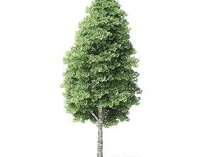 Red Alder Tree 3D Model 16m