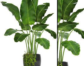 plant 3D Banana Tree