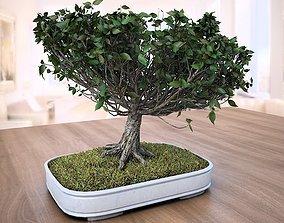 3D American Elm Bonsai Tree 001 - Ulmus