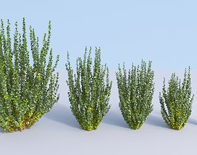 3D Japanese barberry Berberis thunbergii erecta