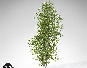 XfrogPlants European Aspen 3D