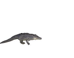 alligator animation 3D asset