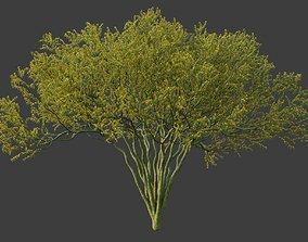 XfrogPlants Palo Blue Verde - Parkinsonia Florida 3D model