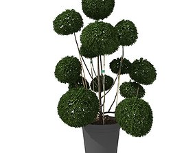 Cutted styled bush buxus in pot 3D model