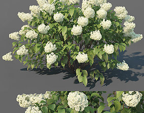 Hydrangea Paniculata Nr3 - Limelight XL - 3 3D model