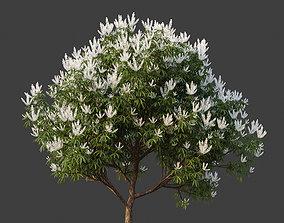 XfrogPlants Ivory Curl - Buckinghamia Celsissima 3D