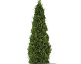 3D model White Cedar Thuja occidentalis 2m