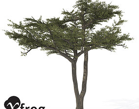 XfrogPlants Umbrella Acacia 3D model