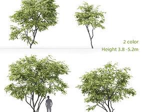 3D Acer Ginnala 1