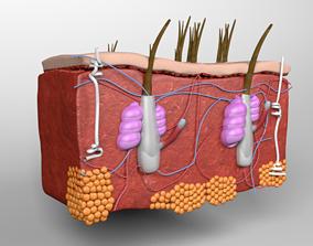 3D Skin anatomy