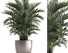 Decorative palms Howea 3D